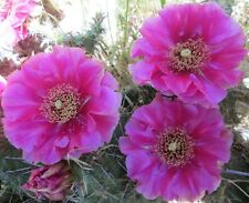 Hardy Prickly Pear Opuntia Cactus Ruffled Pinkish Purple Blossoms 2 For 1 SALE!!