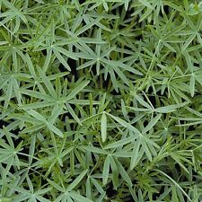 Kings Seeds - Green Manure - Lupins Blue - 1kg Pack