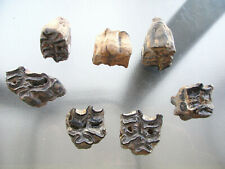 8 Ice Age Pleis. Fossil Horse molars 1 Lower molar 7 Upper molars from T.C.D. #A