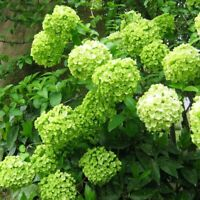 15 Green Hydrangea Seeds Perennial Hardy Garden Shrub Big Bloom Flower Bush Seed