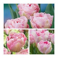 Angelique Tulip x 30 Bulbs.Multi Headed blooms.Pretty Spring Flowers