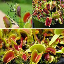 GUT 10 Pflanzensamen Insekten fleischfressende Pflanzen Venusfliegenfalle