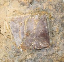 Wirbel, Nothosaurus sp., Trias, Muschelkalk, Kirchheim, Deutschland -x104