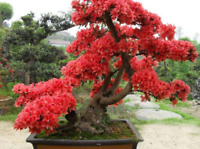 Aries Japanese Cherry Sakura Bonsai 10 Seeds Dwarf Woody Small Tree Gardening