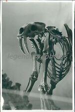 1990 Bones of Saber-Toothed Cat Dinosaur Original News Service Photo