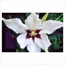 20 x ACIDANTHERA Bicolor - SUMMER FLOWER - Perennial Garden Plant BULBS