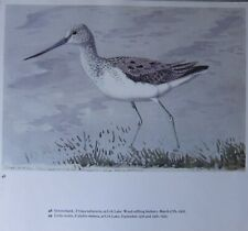 Beau Tunnicliffe Oiseau Imprimé ~ Greenshank