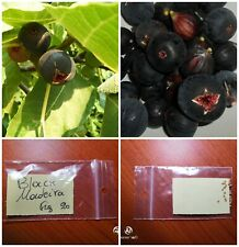 Black Fig Tree ''Black Madeira'' ~20 Top Quality Seeds -Portuguese Variety Sweet