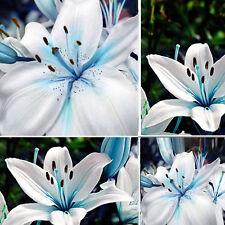 New 50pcs Oriental Lily Blue Stargazer Scented Flower Bulbs Seeds Garden Plants