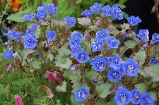 Deserti Blu CAMPANA 1.200 semi Phacelia campanularia