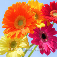 GERBER HYBRIDS MIX - 40 SEEDS - Bright colors - Long stems - Gerbera jamesonii