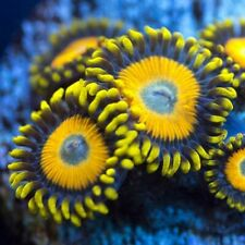 More details for 2p scrambled eggs zoa zoanthids corals soft marine reef live coral frag frags