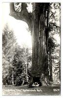 1949 RPPC Chandelier Tree, Underwood Park, CA Real Photo Postcard *5U1