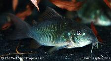 "(6) 1.5-2"" Emerald Green Cory TR Brochis splendens Live Freshwater Tropical Fish"