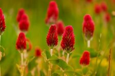 CRIMSON CLOVER 150 seeds BEE + BENEFICIAL BUG ATTRACTING lawn grass GREEN MANURE