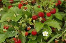 Fragaria vesca ALPINE STRAWBERRY Seeds!