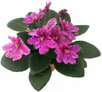 """Terrariums Fairy Gardens Miniature African Violet 1 Live Plant - 2"""" Pot"""