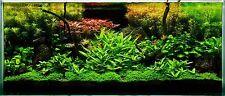 25 Live TROPICAL Aquarium plant Aquatic fish tank plants mixed species & colours