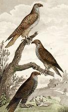 Vögel Beute Faucon Gerfalke Lanier Sacre - Buffon gravur originell 19e