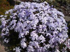 5 x Phlox subulata 'Emerald Blue' Plug Plants Scented Hardy Perennial