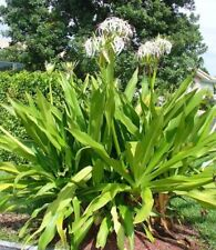 4 live rooted CRINUM ASIATICUM +3 FREE SEED (Spider Lily,  Giant Crinum Lily,)