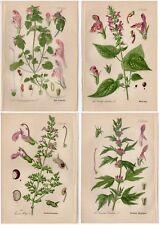 FOUR 1904 Antique Prints: PINK FLOWERS DEADNETTLE,GERMANDER,WOUNDWORT Botanical