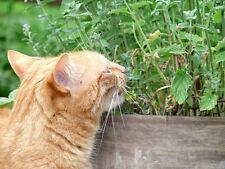 Ihre Katze wird von der wohlduftenden Katzenminze überaus begeistert sein !
