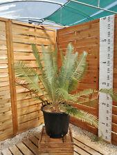 Dioon edule 10cm caudex + 2 rejets, pot 30 litres! ES6, Cycad, Encephalartos