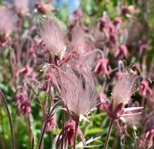 Prairie Smoke Bonsai Plant Seeds Bonsai Potted Rare Flower Garden Seed 10 Pcs