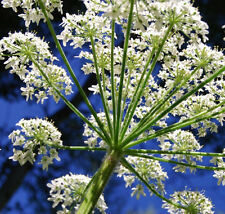 6000+ Queen Anne's Lace Seeds ~5.6g Decorative Garden Plant ~Pure White Annual
