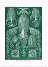 ANTIQUE PRINT NATURE ORIGINAL KUNSTFORMEN DER NATUR ERNST HAECKEL 1899 PLATE 78