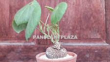 2 BULBS STEPHANIA SUBEROSA BLUME SPRENG PLANT RARE CAUDEX SUCCULENT BONSAI