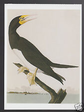 John James Audubon Exotic Birds Art PAINTING MODERN POSTCARD Brown Booby