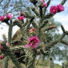 Cane Cholla Cactus Seeds (Cylindropuntia Imbricata) 20+Seeds