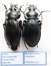 Carabus morphocarabus scheidleri (pair A1) from AUSTRIA