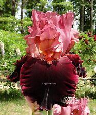 "New listing Tall Bearded ""Wearing Rubies"" Iris - Garnet Rose & Velvety Ruby Red '00 Pre-Sale"