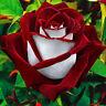 20x Red White Osiria Ruby Rose Flower Rare Seeds Flower Home Garden Decor New