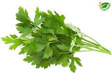Perejil Comun Hoja Lisa  ( 1.200 semillas seeds ) salsa parsley persil