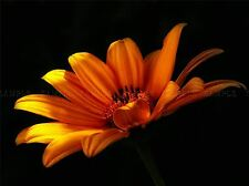 NATURE FLOWER PETAL ORANGE YELLOW POSTER ART PRINT HOME PICTURE BB109A