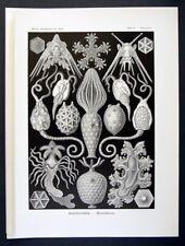 1899 Haeckel's Kunstformen 1st ed. original print #95 - Amphoridea