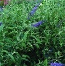 Buddleia - Butterfly Hybrids - 50 Seeds