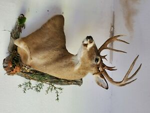 13 point with drop tine whitetail deer shoulder mount (Michigan Buck)