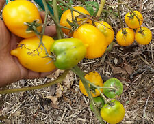 Lemon Plum Tomato - A Meaty and Sweet Low Acidic Bright Yellow Tomato - 10 Seeds