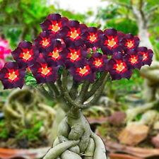 Bellfarm Rare Dark Flowing Adenium Desert Rose, Professional Pack, 2 Seeds