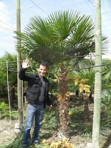 Palme Trachycarpus fortunei Höhe 350cm Winterhart-19 Grad Hanfpalme aus Spanien