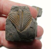 Trilobite Fossil - headless trilobite. De 1.5 a 2.5 cms
