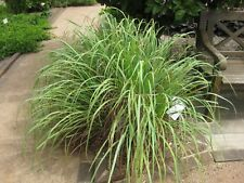 Lemon Grass C. Citratus 100+seeds. Vegetable Herb. Asian Cooking medicinal plant