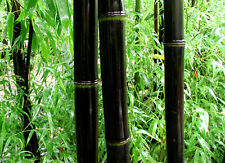 40 Black Bamboo Seeds Phyllostachys Nigra 2015 seeds USA SELLER FAST SHIPPING