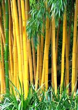 Der winterharte Gold Bambus - Golden Bamboo - ist ein Kontrastgeber im Garten