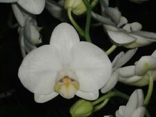 Cute White Phal Orchid Hybrid Brother Amor Nbs/Bs plant!